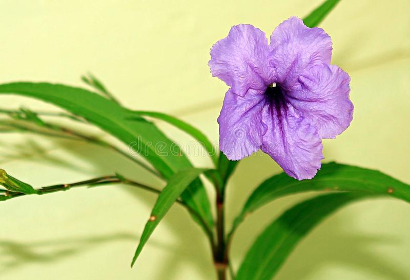 Ruellia Simplex is a species of flowering plant royalty free stock images