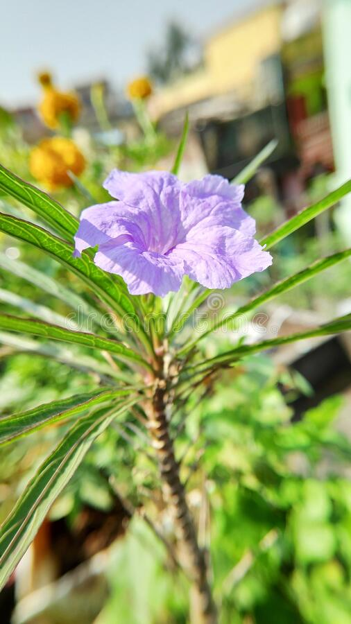 Ruellia tuberosa, also known as minnieroot, fever root, snapdragon root and sheep potato, is a species of flowering plant. In the family Acanthaceae. Its native royalty free stock image