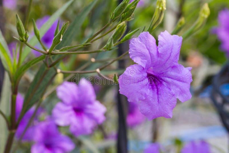 Ruellia tuberosa Brittoniana eller mexicanskt blomma för petuniablomma royaltyfri fotografi