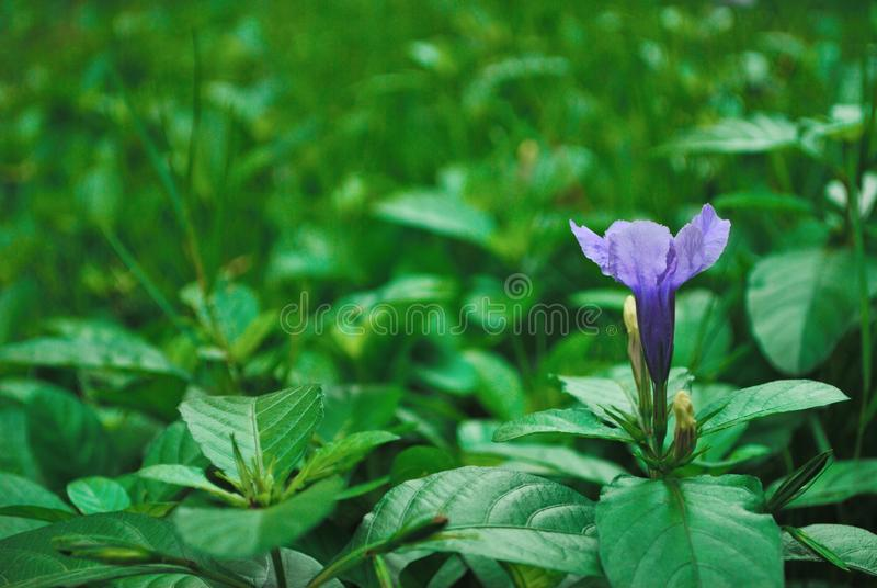 Ruellia tuberosa royalty free stock photography