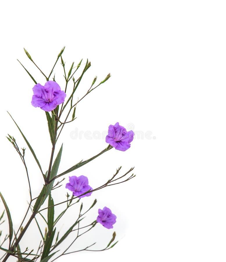 Ruellia tuberosablomma som blommar mot vit bakgrund arkivfoton