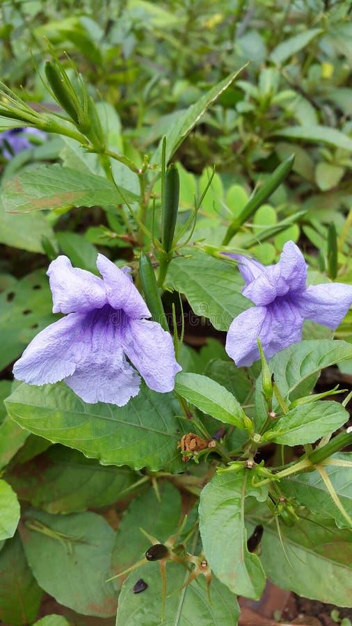 Ruellia tuberoses stock images