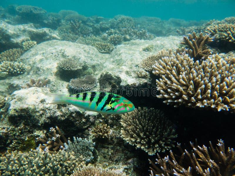 Rueppellii de Thalassoma au-dessus de tête de corail d'Acropora images stock