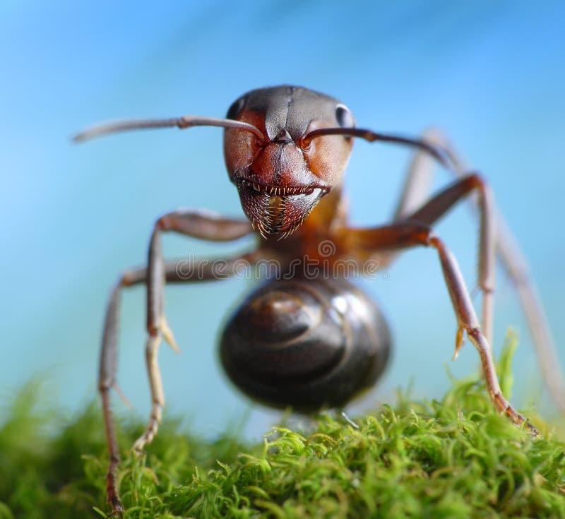 Rufa för skogrånareformica, myrasagor royaltyfria foton