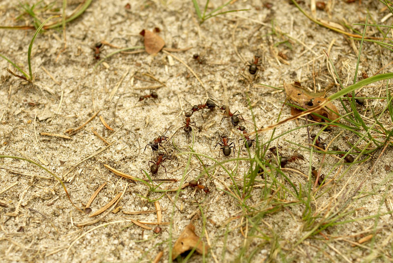 rufa formica μυρμηγκιών στοκ φωτογραφία με δικαίωμα ελεύθερης χρήσης