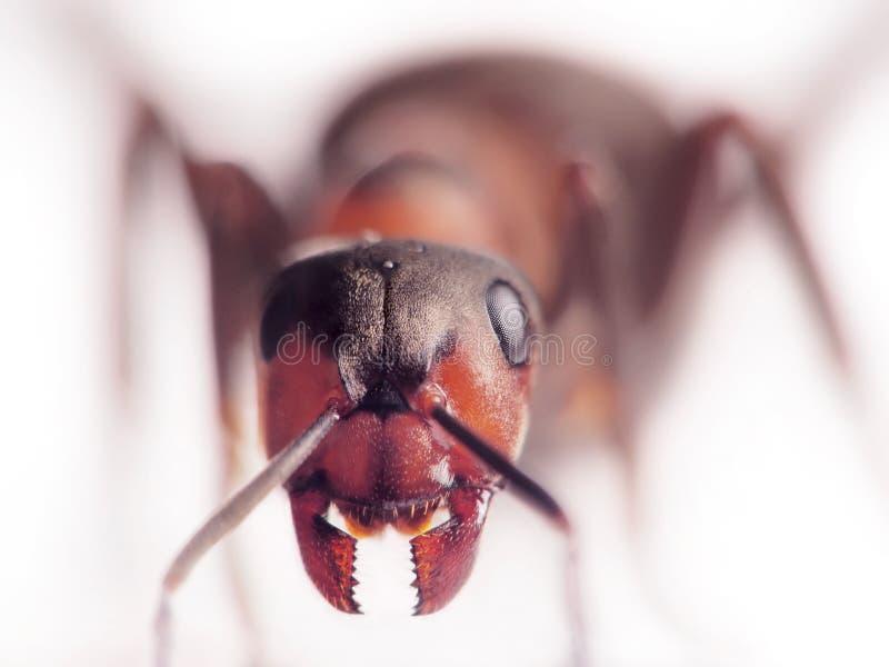 Rufa van mierenformica van aangezicht tot aangezicht royalty-vrije stock afbeeldingen
