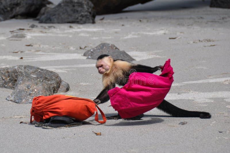 Rufen Sie die Polizei! Weißer gegenübergestellter Capuchin in Manuel Antonio, Costa R lizenzfreie stockbilder