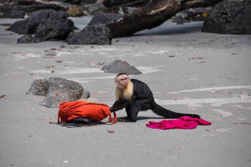 Rufen Sie die Polizei! Weißer gegenübergestellter Capuchin in Manuel Antonio, Costa R lizenzfreie stockfotos