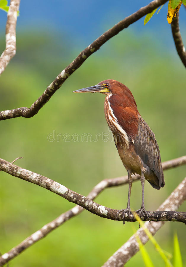 The Rufescent Tiger-Heron royalty free stock photography