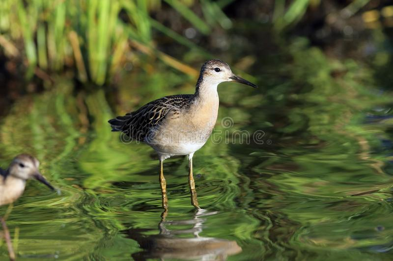 Ruff evening on the shore of the lake on the Yamal Peninsula. Philomachus pugnax. Ruff in late summer in the North of Siberia stock photos