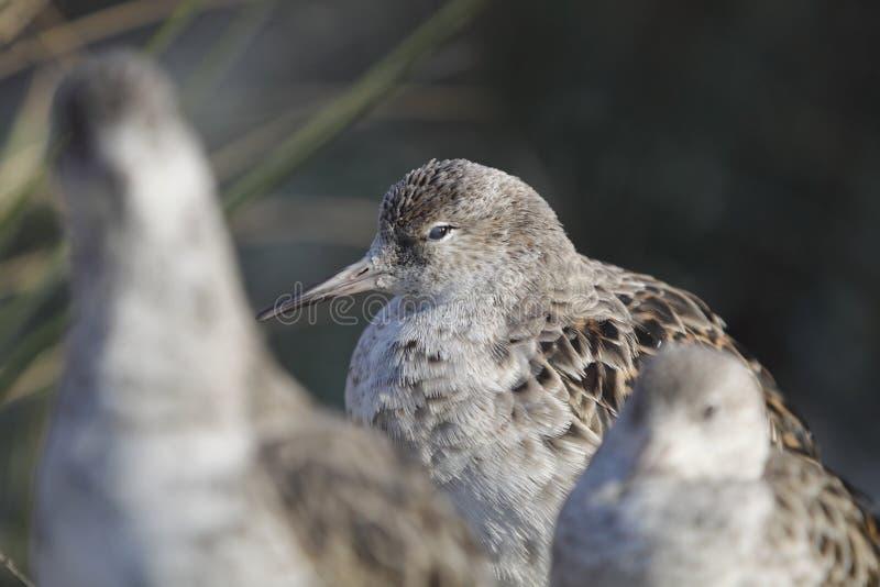 Download Ruff - Philomachus pugnax stock image. Image of bird - 18656251