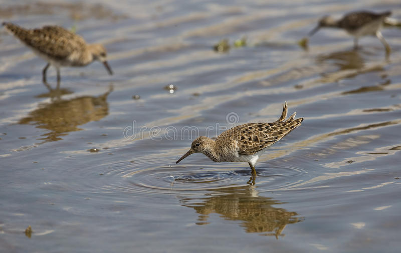 Download Ruff (Philomachus Pugnax) With Dripping Water Stock Image - Image: 31292121