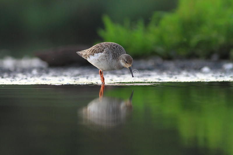 Download Ruff Philomachus pugnax stock photo. Image of bird, migration - 32313044