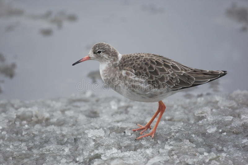 Download Ruff, Philomachus pugnax, stock image. Image of wader - 33379657