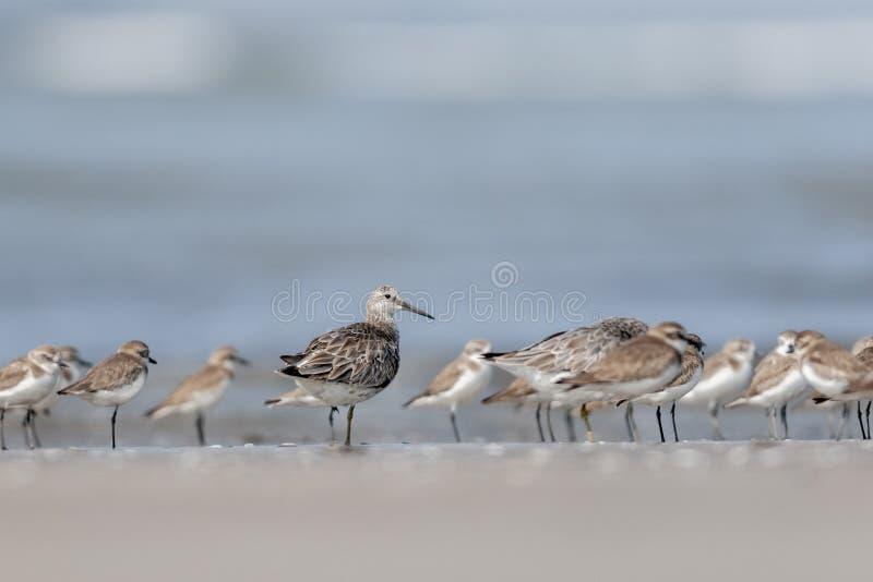 Ruff in piume non crescere alla spiaggia di Akshi, maharashtra, India immagine stock libera da diritti