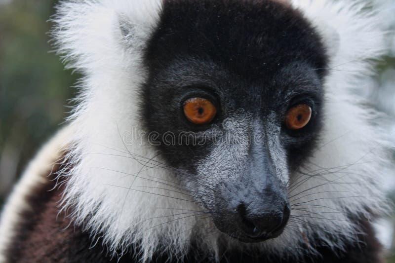Ruffed狐猴在马达加斯加 免版税库存图片