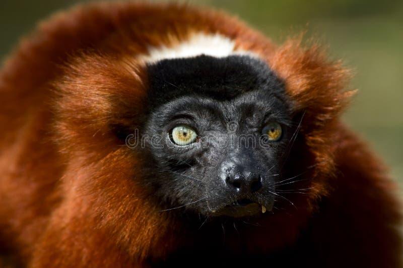 ruffed красный цвет lemur стоковые фотографии rf