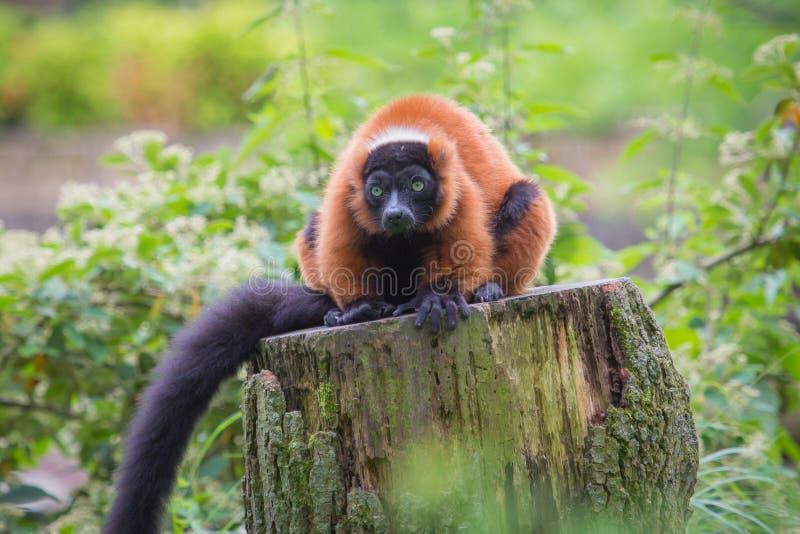 ruffed красный цвет lemur стоковое изображение