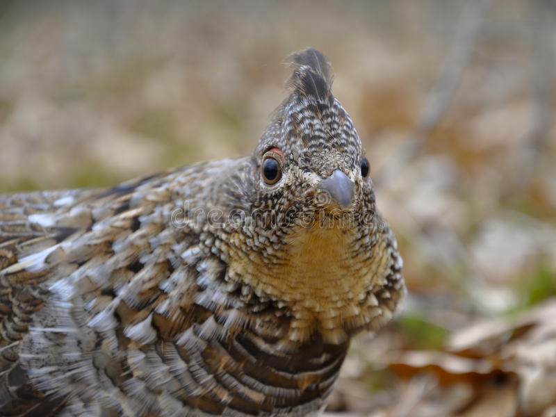 Ruffed Grouse. Male Ruffed Grouse at eye level on the forest floor royalty free stock image
