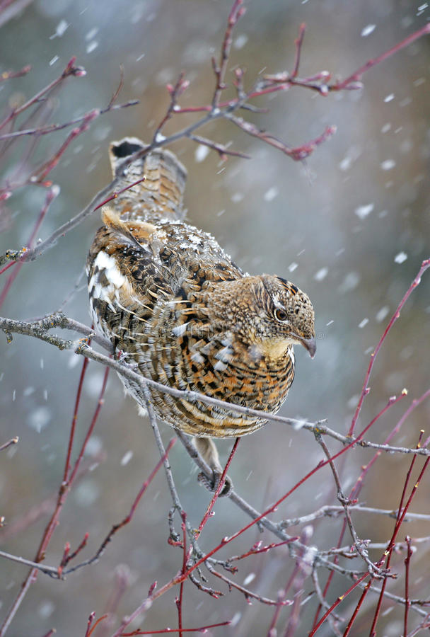 Ruffed Grouse in blizzard stock images