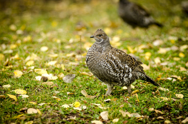Download Ruffed Grouse In Fall Royalty Free Stock Photography - Image: 26799417