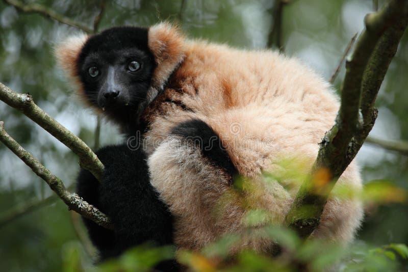 Ruffed Lemur Stock Photos