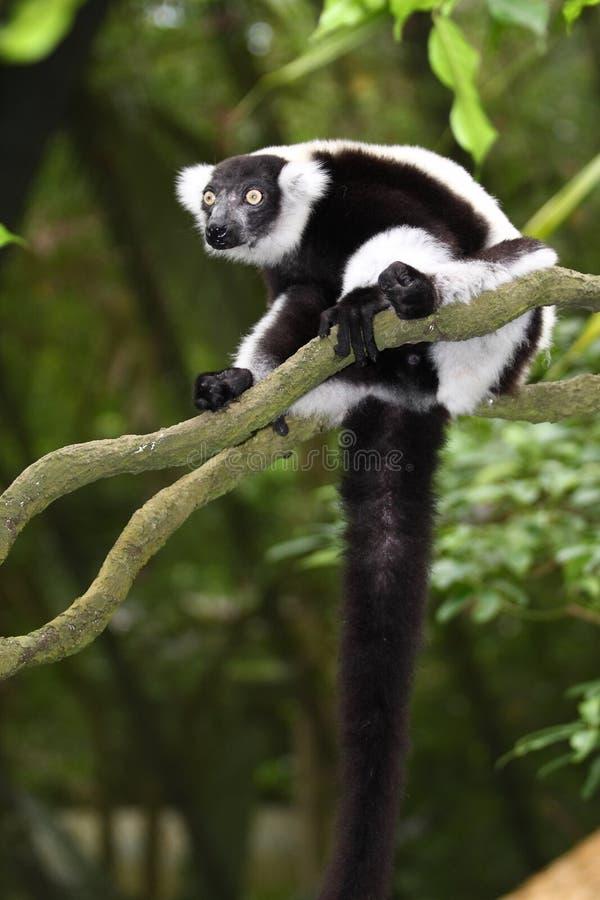 ruffed lemur fotografering för bildbyråer