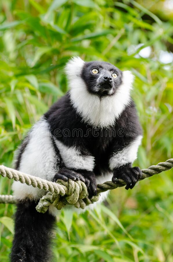 черным белизна ruffed lemur стоковое изображение rf