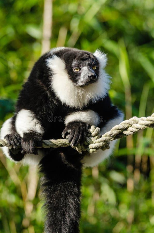 черным белизна ruffed lemur стоковые изображения