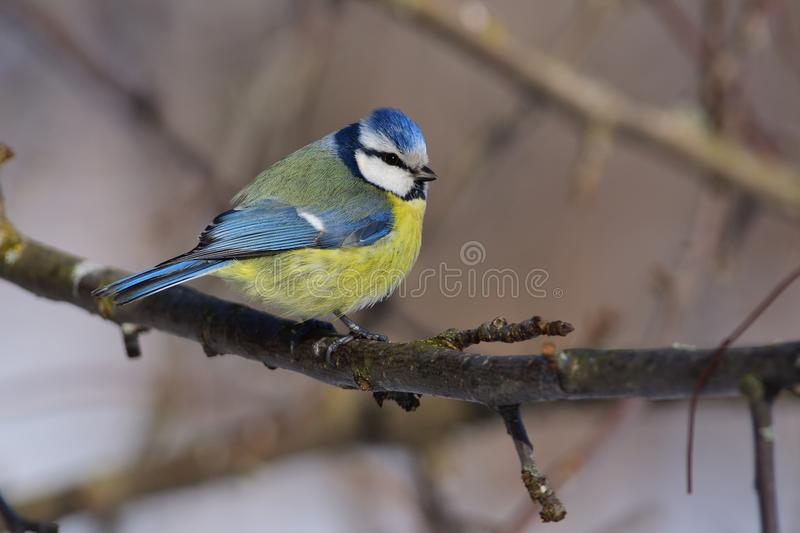 Ruffled eurasian blue tit sits on a branch of an apple tree sun reflect in eye. Ruffled eurasian blue tit Cyanistes caeruleus sits on a branch of an apple tree royalty free stock photo