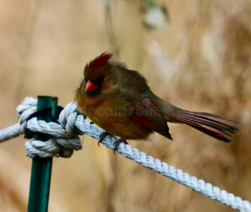 A Ruffled Female Northern Cardinal. This is an early Winter picture of a ruffled female Northern Cardinal perched on a rope fence in the Montrose Point Bird royalty free stock photography