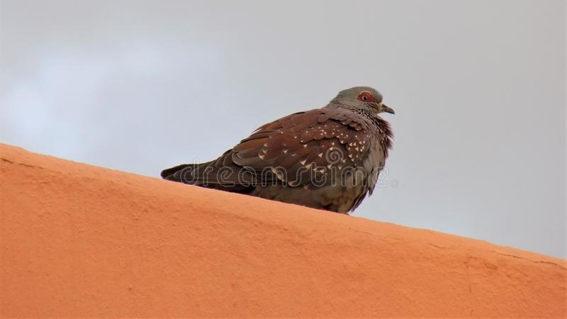 Ruffled Rock Pigeon on Roof stock photos
