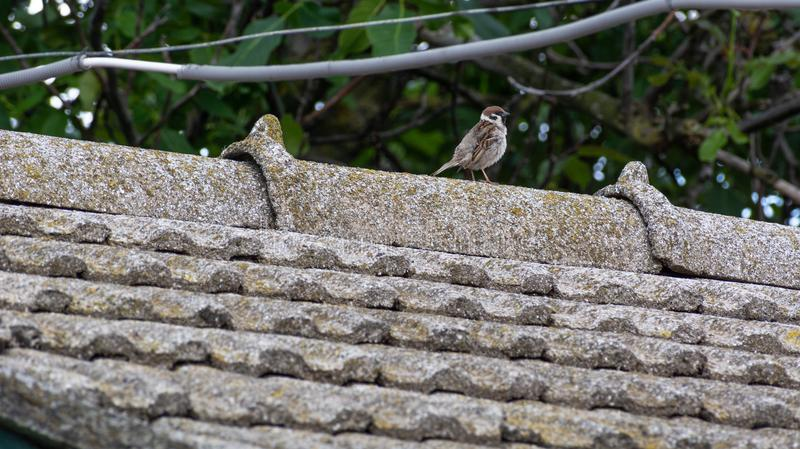 Ruffled sparrow on the tiled roof royalty free stock images