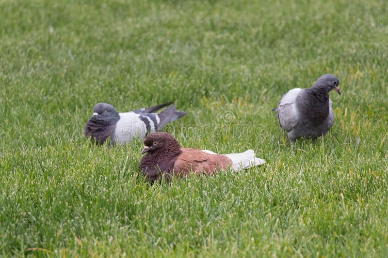 Ruffled up pigeons sitting on the grass stock photos