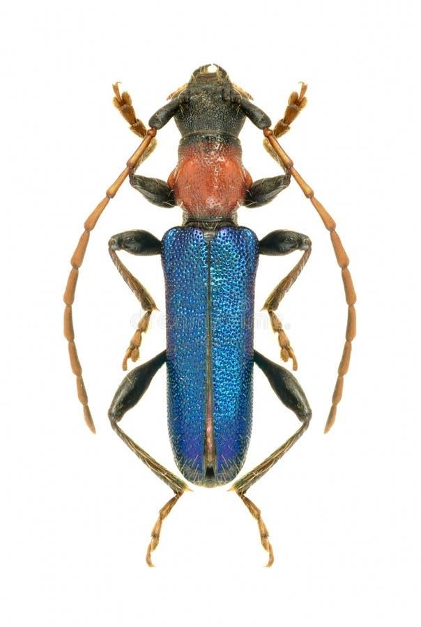 Ruficolle del ebulinum de Certallum del escarabajo del Capricornio fotografía de archivo