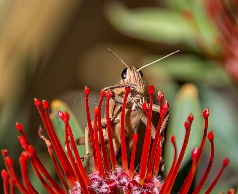 Ruficornis di Acanthacris della locusta del giardino fotografie stock libere da diritti