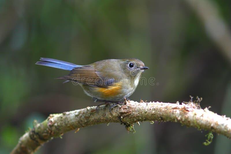 Rufilatus de l'Himalaya de Bluetail Tarsiger photographie stock libre de droits