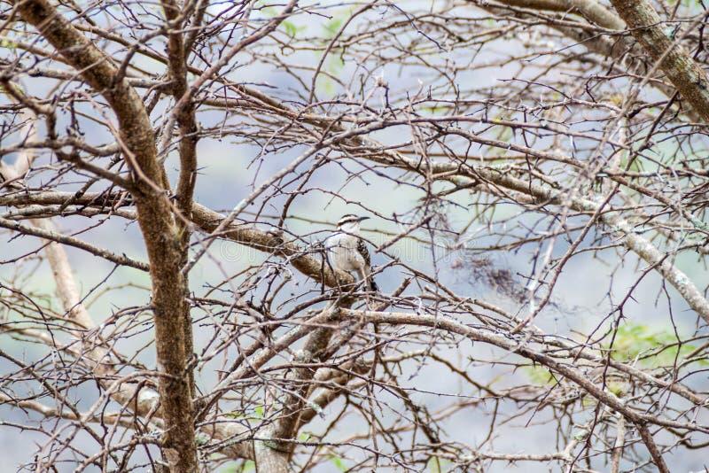 Rufinucha rufous-naped de Campylorhynchus de roitelet dans la zone protégée Miraflor, Nicarag images libres de droits