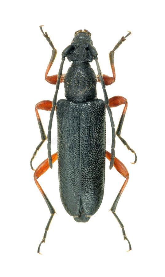 Rufipes de Anoplodera del escarabajo del Capricornio fotos de archivo libres de regalías