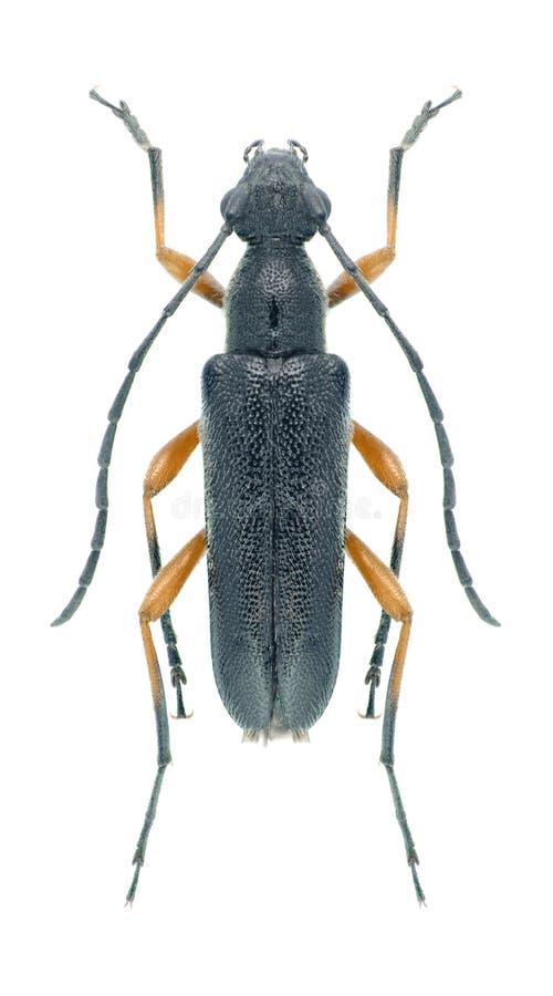 Rufipes de Anoplodera del escarabajo del Capricornio imagen de archivo libre de regalías