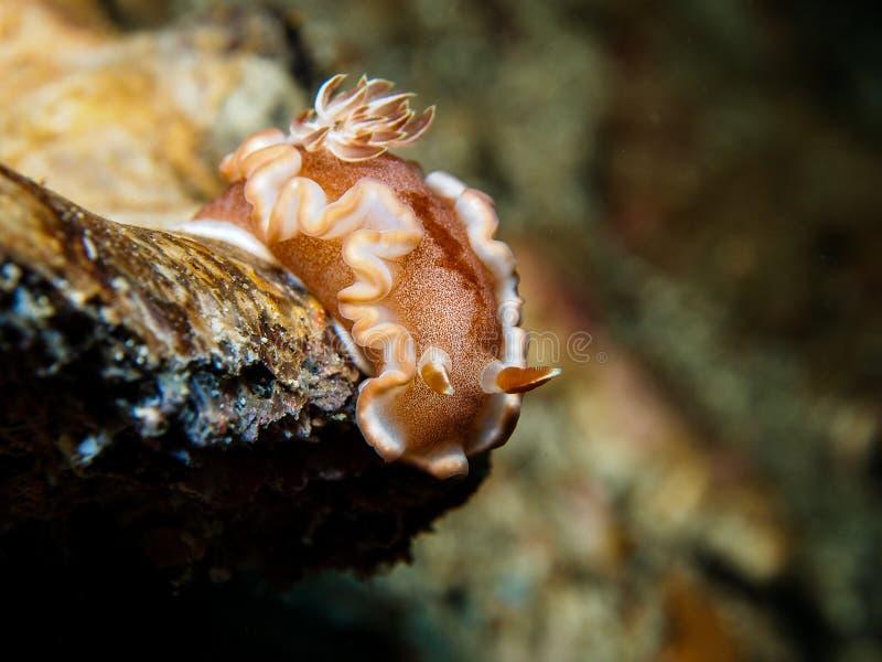 Rufomarginata Nudibranch Glossodoris, кусок металла моря стоковое изображение rf
