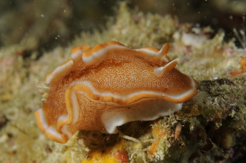 Rufomarginata Nudibranch Glossodoris Malapascua, Филиппины стоковое изображение rf