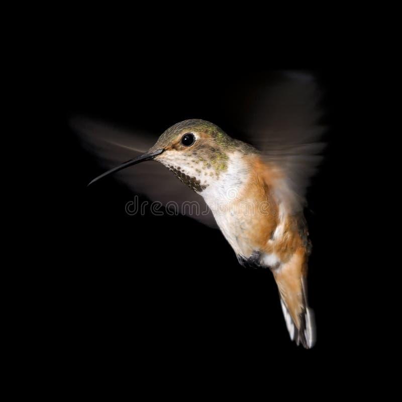 Rufous колибри в полете стоковое фото