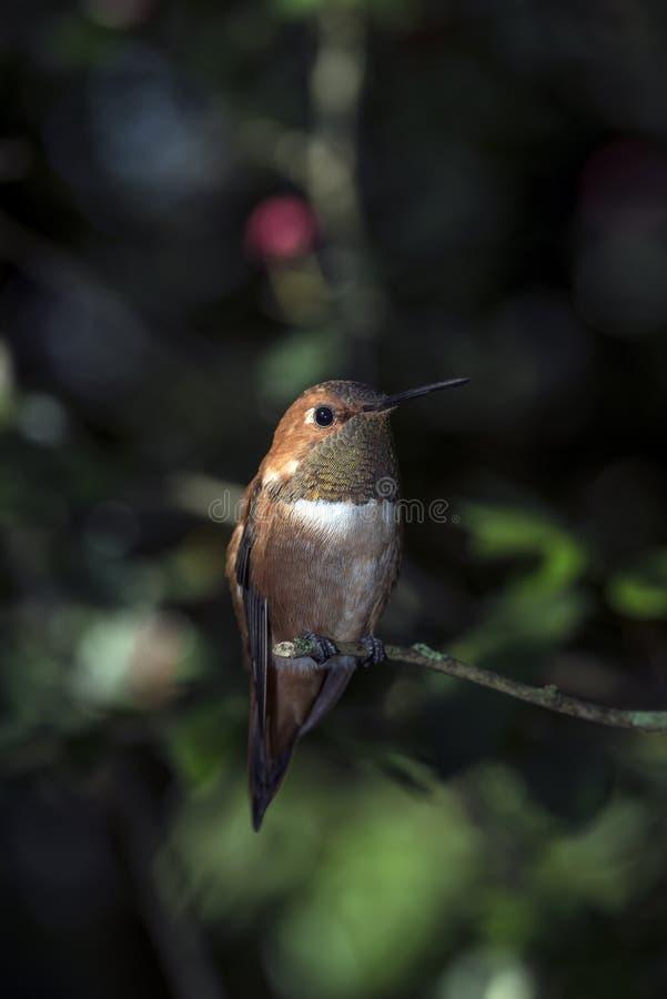 Rufous колибри (rufus Selasphorus)