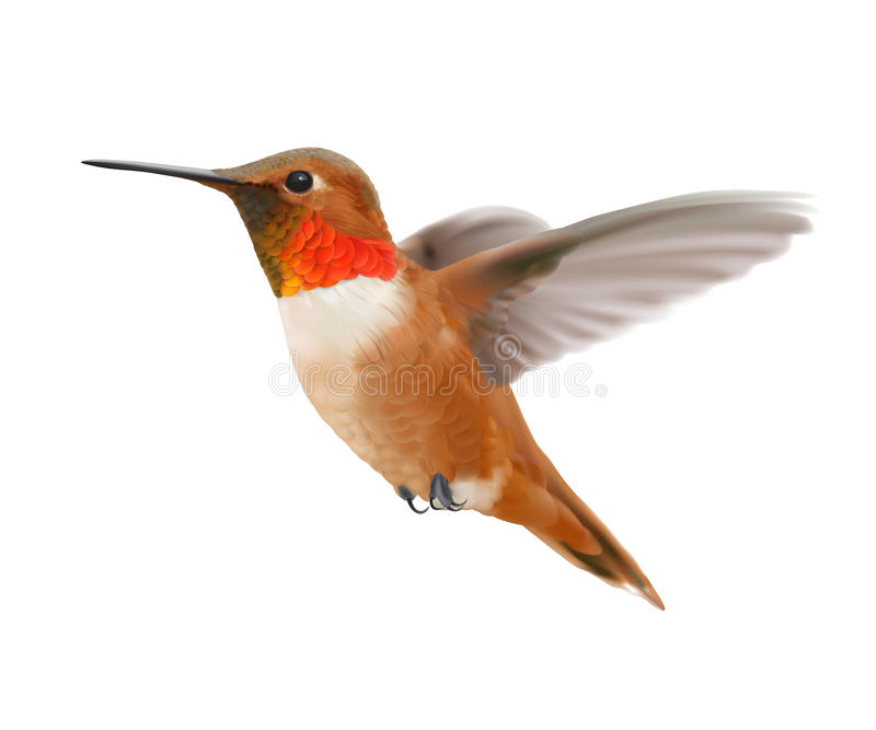 Rufous колибри летая - rufus Selasphorus иллюстрация штока