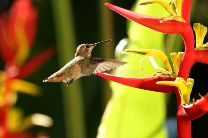 Rufous колибри стоковое фото
