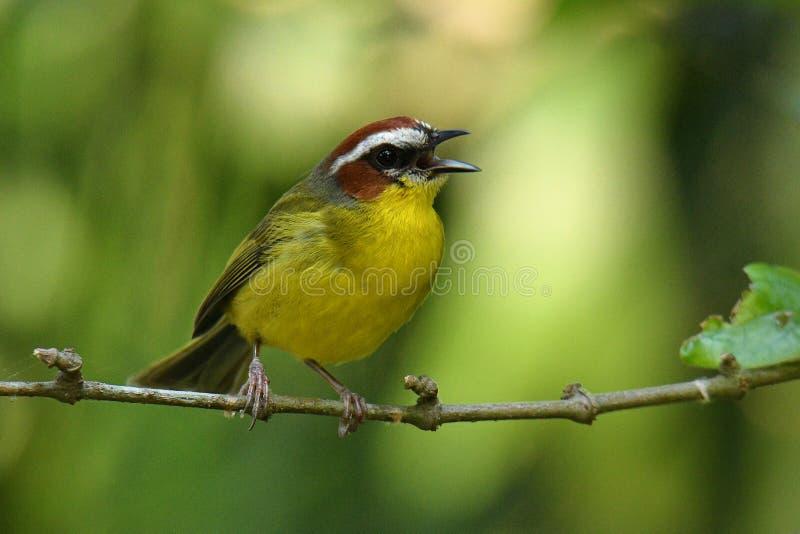 Rufous-покрытая певчая птица - rufifrons Basileuterus, Каштан-покрытая певчая птица - delattrii Basileuterus уроженец певчей птиц стоковое изображение rf