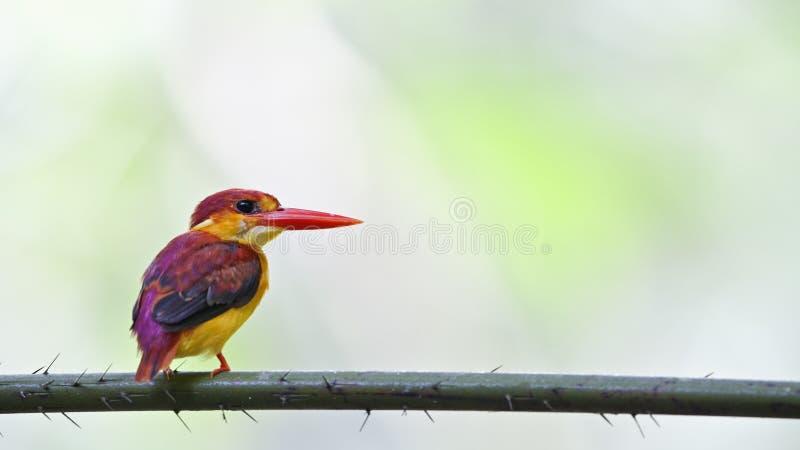 Rufous поддерживаемый kingfisher - профиль юноши задний стоковая фотография rf