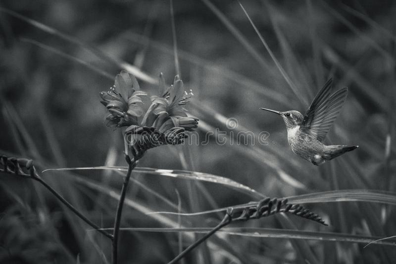 Rufous цветки колибри и Crocosmia с черно-белыми предпосылками стоковые фото