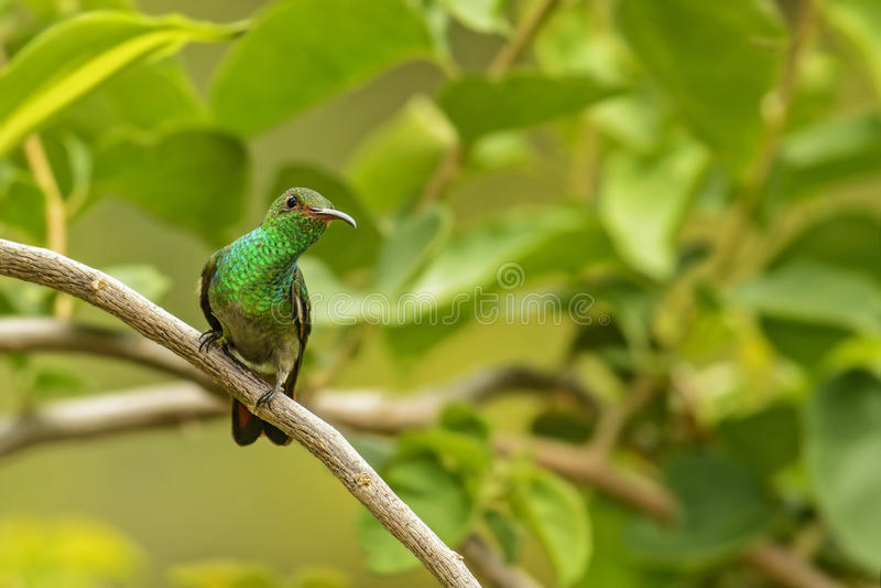 Rufous angebundener Kolibri lizenzfreie stockfotos